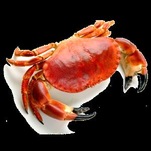 buey-de-mar